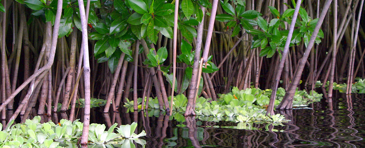mangrove stock photo